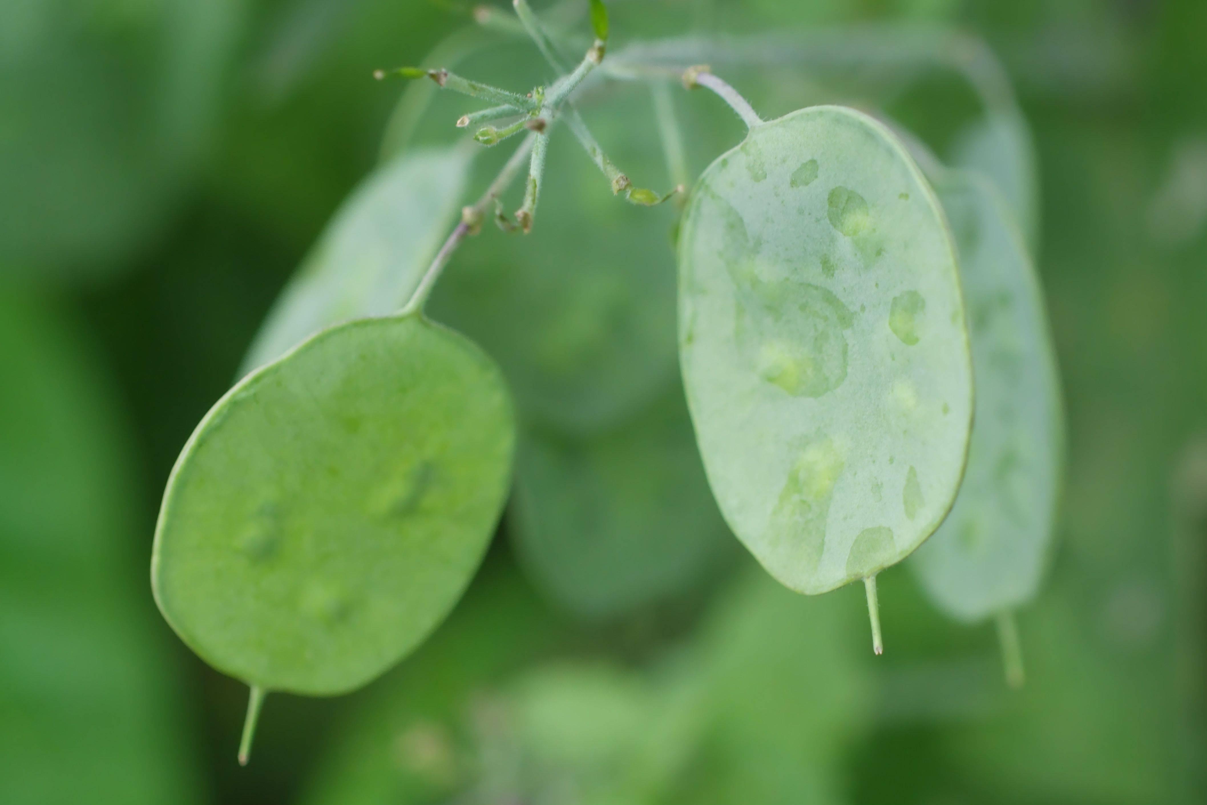 Лунник многолетний (оживающий) - лечебные свойства и характеристика растения | рецепт здоровья