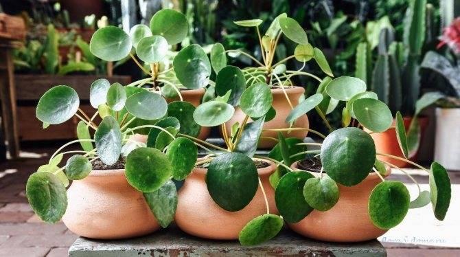 Пилея монетолистная   (pilea nummulariifolia). уход в домашних условиях