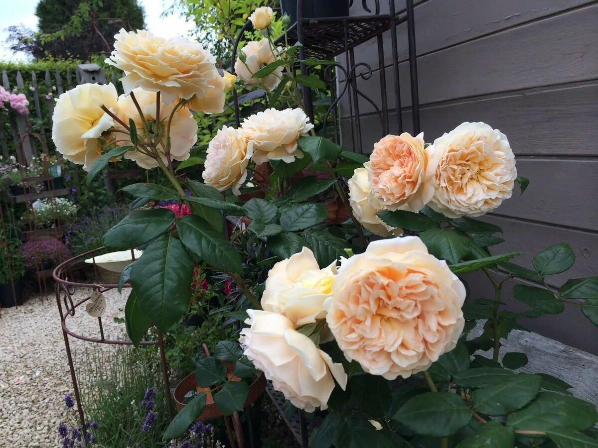 О розе принцесса маргарет (crown princess margareta): выращивание розы остина