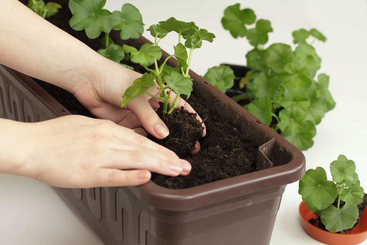 Как пересадить герань в горшок другого размера правильно: можно ли дома выращивать в одной ёмкости черенки разных цветов и будет ли такой комнатный микс красивым?