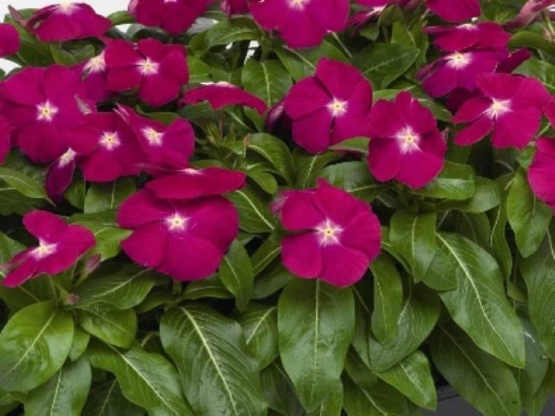 Катарантус ампельный: выращивание из семян, уход за растением