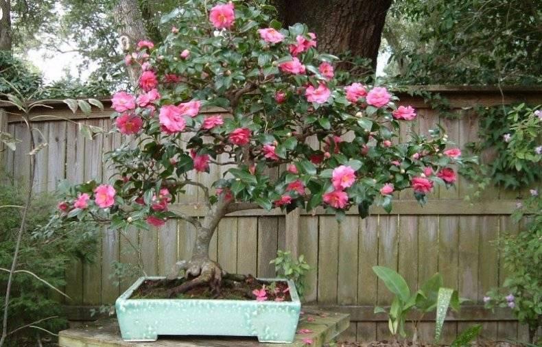 Цветок камелия: сорта, выращивание в саду, посадка и уход в открытом грунте
