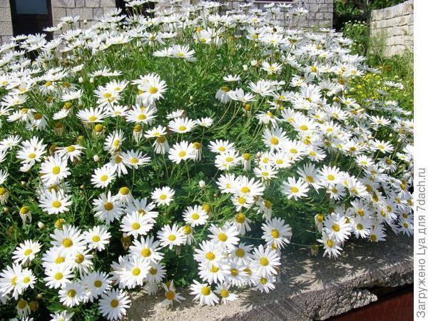 Топ-20 цветов, похожих на ромашки: названия, описания и фото