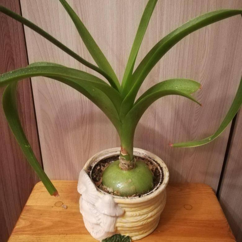 Как выращивать и использовать индийский лук, какими лечебными свойствами и противопоказаниями он обладает