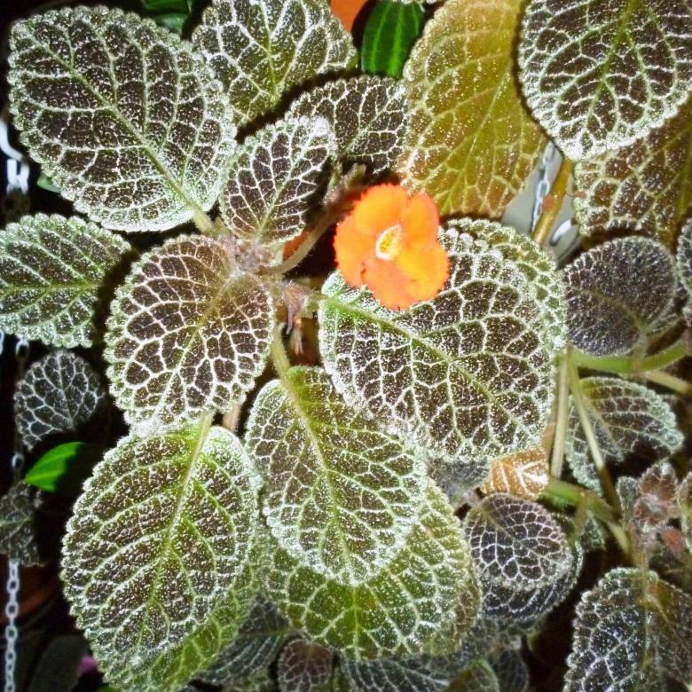 Павлиний цветок, или эписция: как обеспечить ей в домашних условиях достойный уход