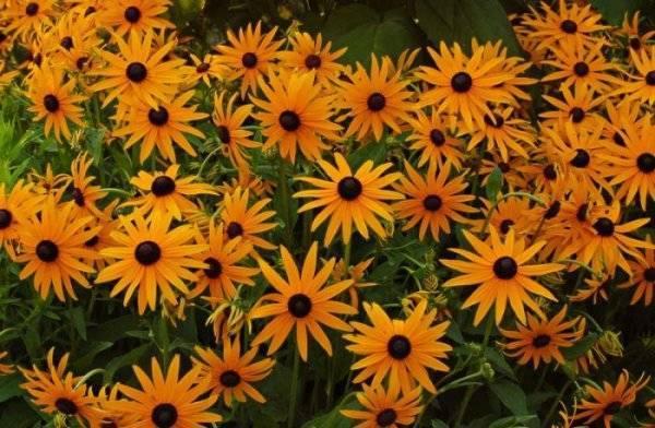 Рудбекия многолетняя: выращивание, посадка и уход