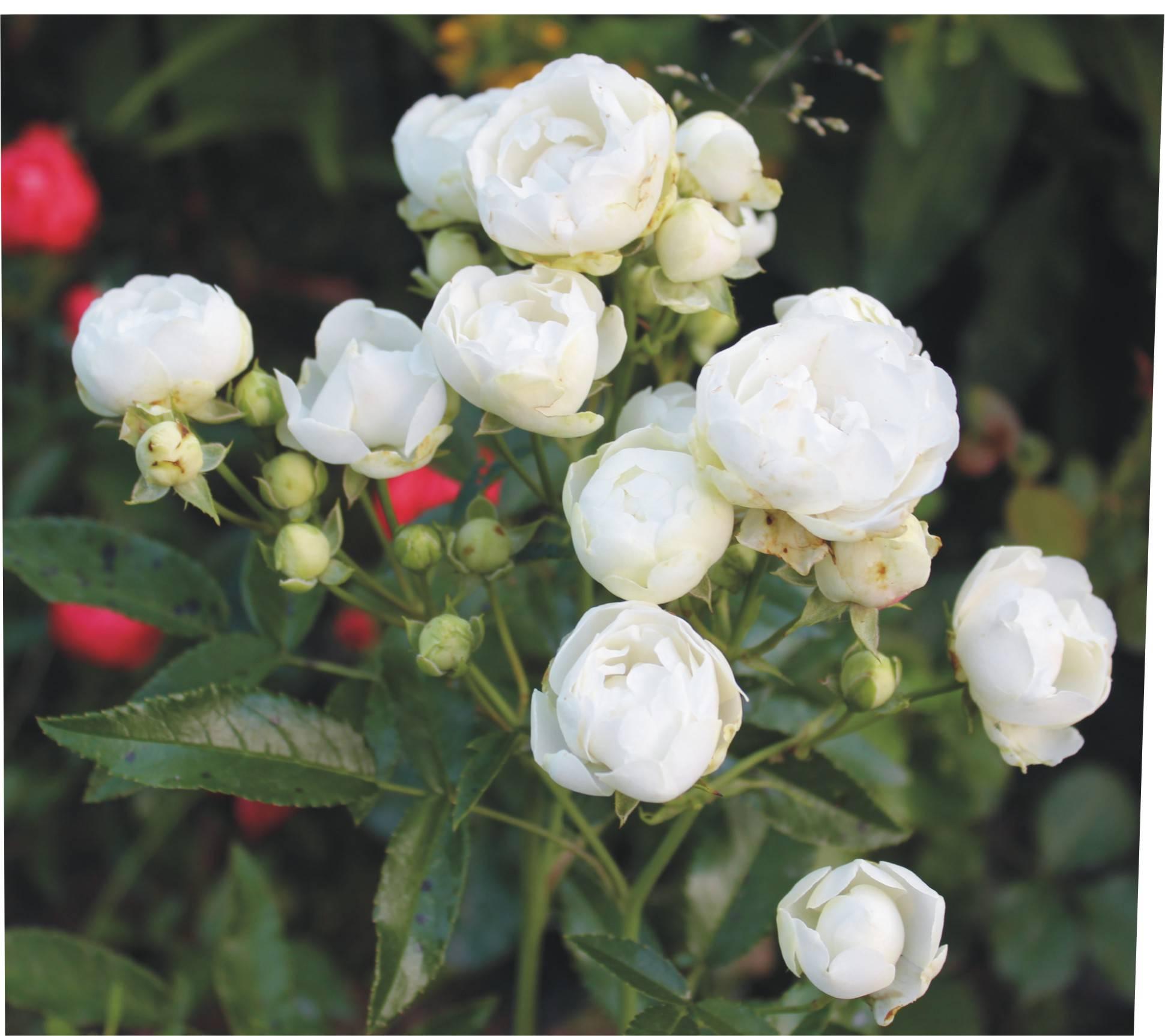Роза полиантовая (ангельская): характеристика, посадка и уход, выращивание из семян, сорта, отзывы, видео, фото
