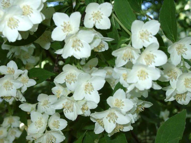 Правильная посадка, уход и обрезка жасмина — залог обильного цветения