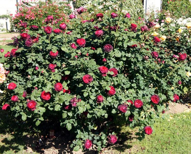 Как вырастить кустовую розу в горшке? описание цветка и правила ухода за ним в домашних условиях