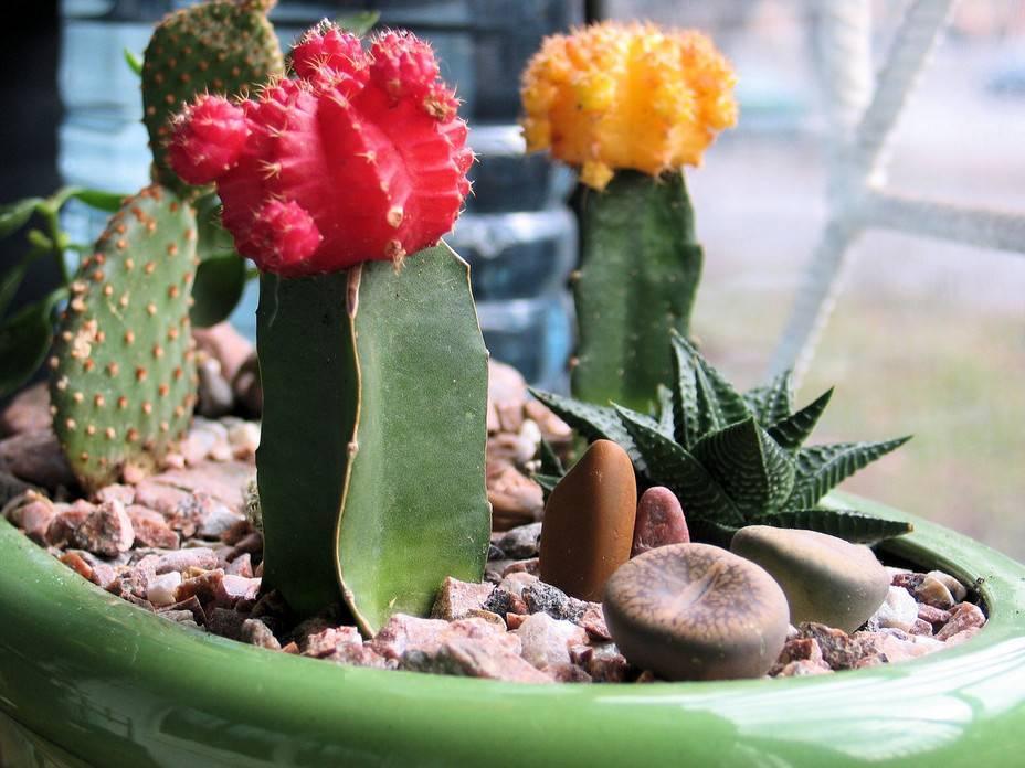 Как вырастить кактус в домашних условиях: правила ухода