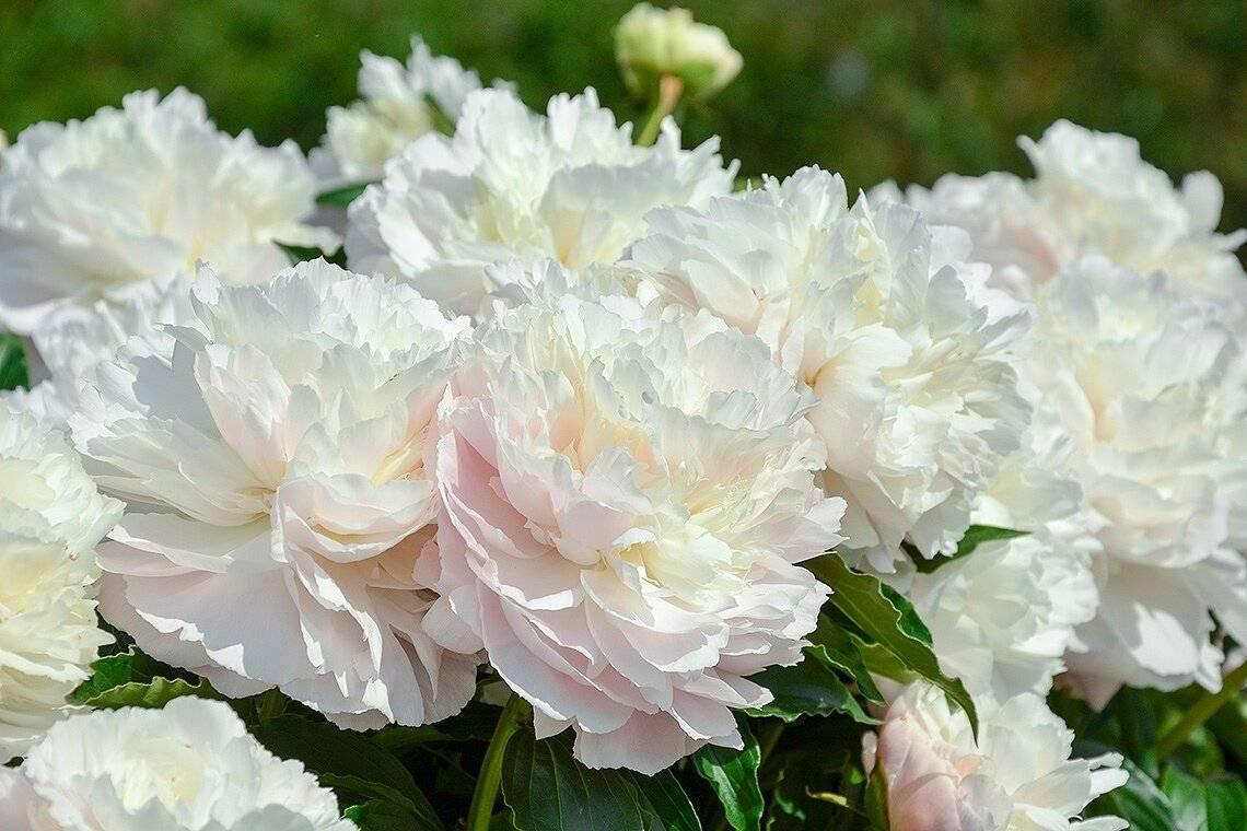 Молочноцветковые пионы — китайские гости в наших садах
