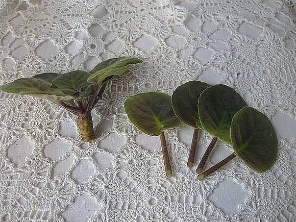 Размножение фиалок в домашних условиях