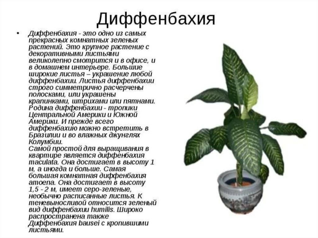 Как размножить диффенбахию дома: рассаживание черенками, листом, корнями, семенами