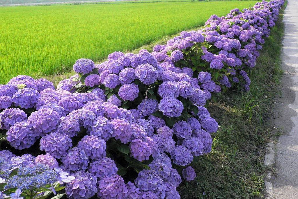 Какая почва требуется гортензии: земля или грунт для гортензии садовой