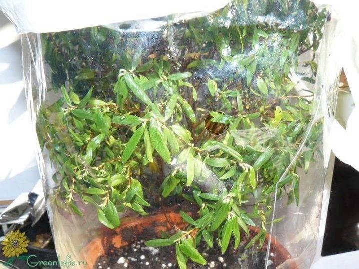 Мирт засох: как реанимировать растение