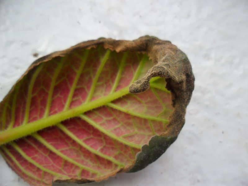 Сухие пятна на листьях глоксинии