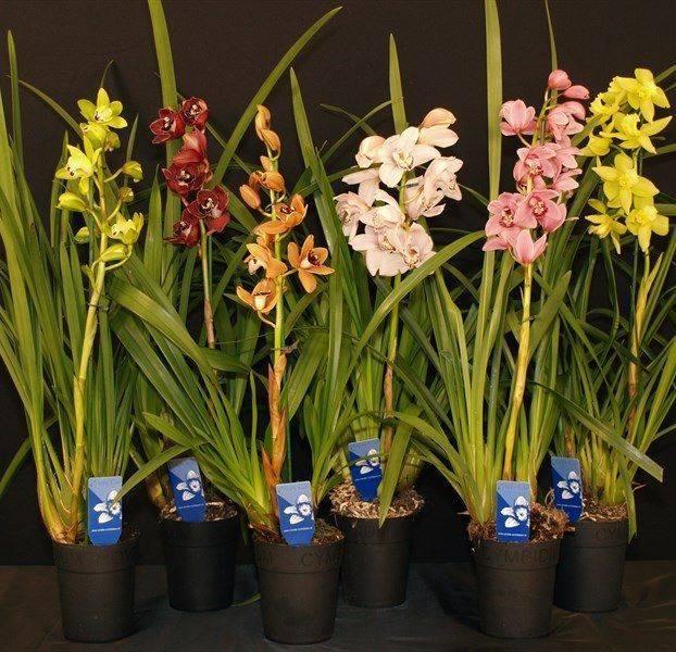Прекрасная орхидея цимбидиум: уход в домашних условиях
