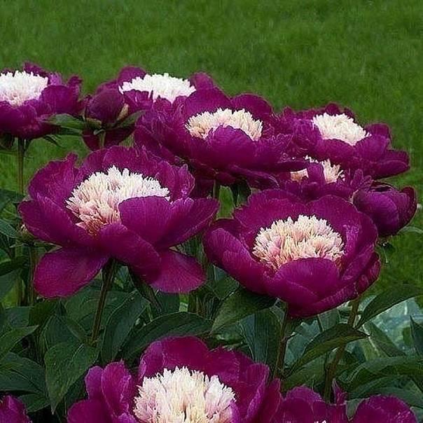 Все о пионе этчед салмон: описание и характеристики сорта, правильный уход в саду