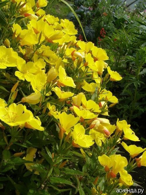 Правильная посадка и уход за энотерой многолетней. цветок энотера ночная свеча выращивание из семян посадка и уход в открытом грунте фото сортов легенды об энотере и другие названия