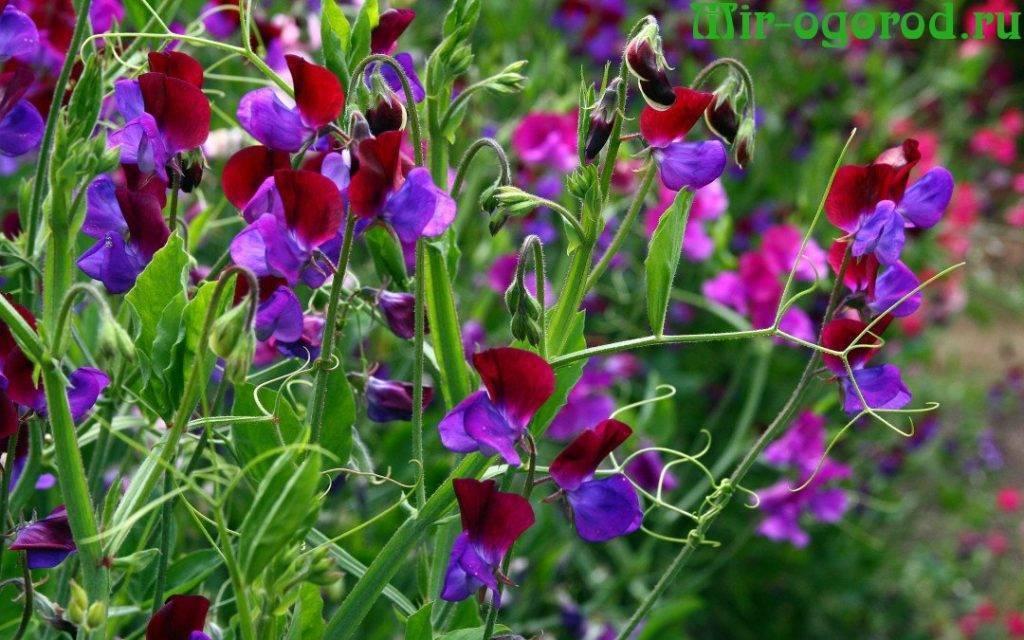 Многолетний душистый горошек: посадка и уход, фото растения