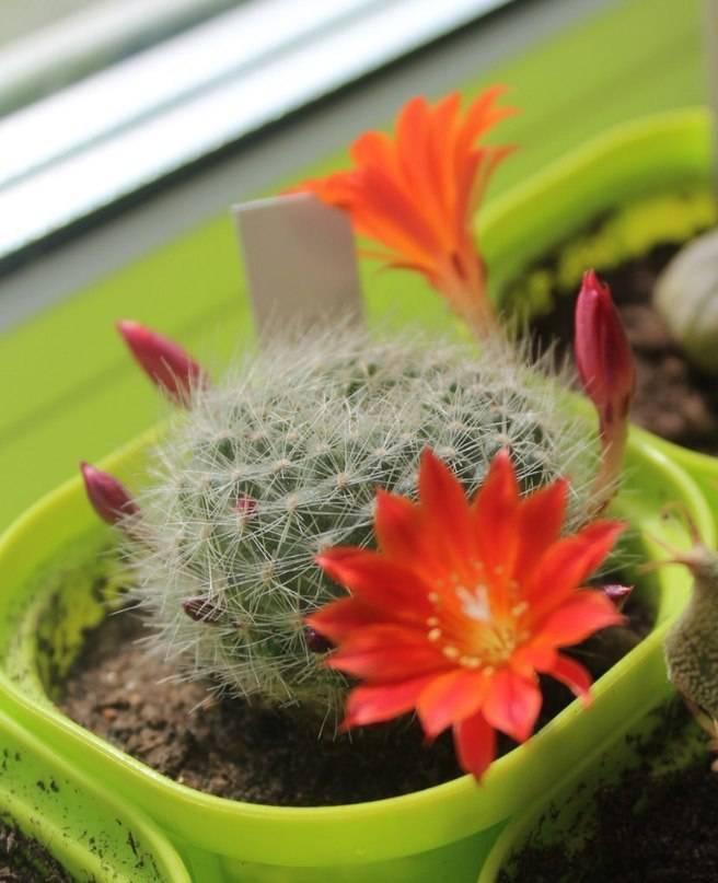 2 стратегии, позволяющих добиться цветения кактусов