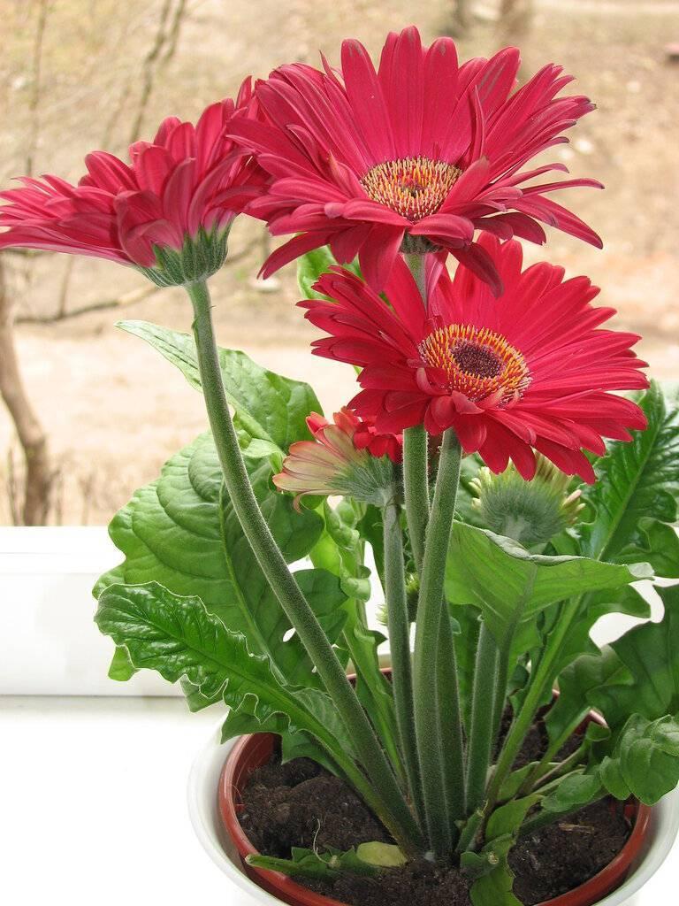 Как выглядит гербера: описание цветка, как растут в природе, выращивание гибридной