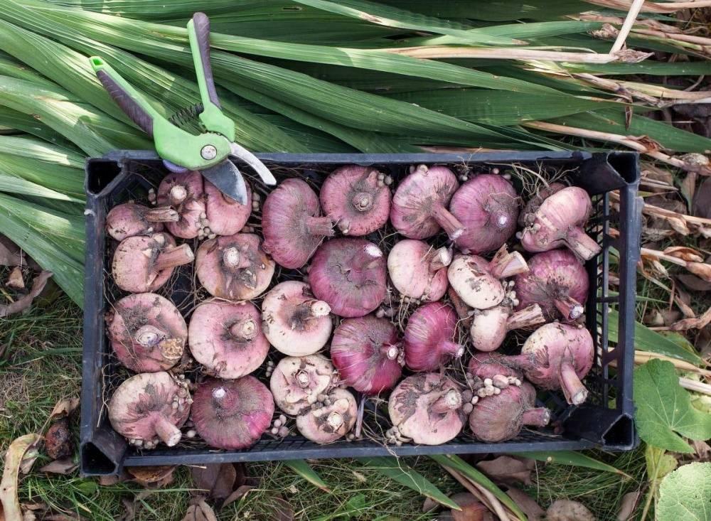 Как правильно хранят луковицы гиацинта после цветения