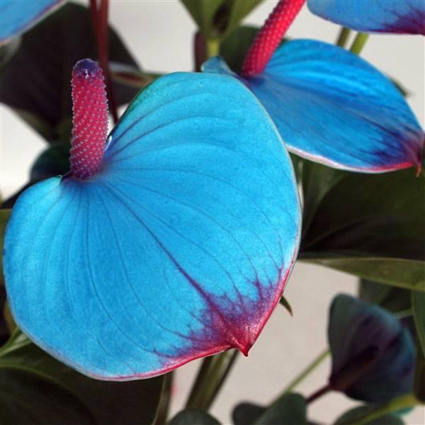 Виды антуриума (52 фото): сорта розового, синего и фиолетового цветов с названиями, особенности сортов «дакота» и «кавалли»