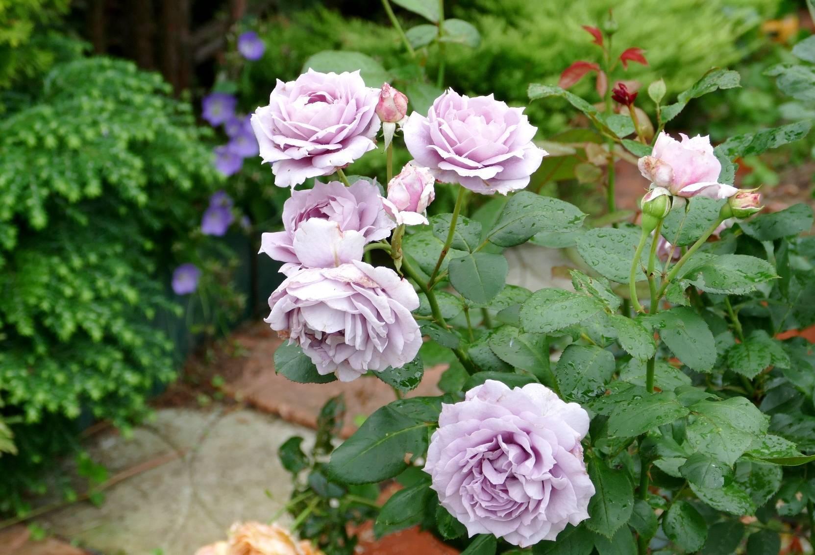 Роза новалис (novalis): описание, фото и характеристика сорта, отличие от других разновидностей, особенности выращивания, ухода и размножения, болезни и вредители