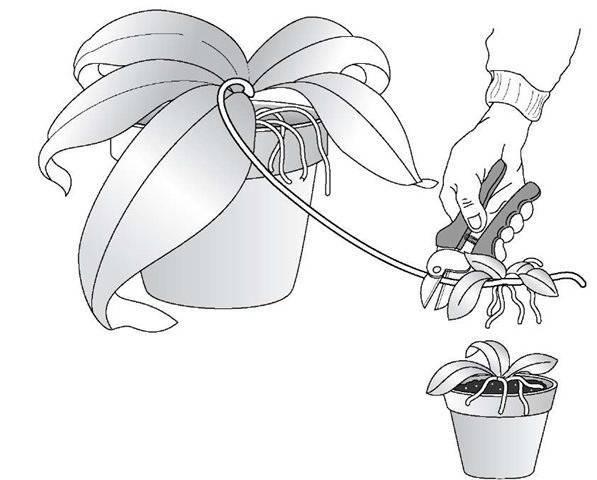 Орхидея: уход в домашних условиях