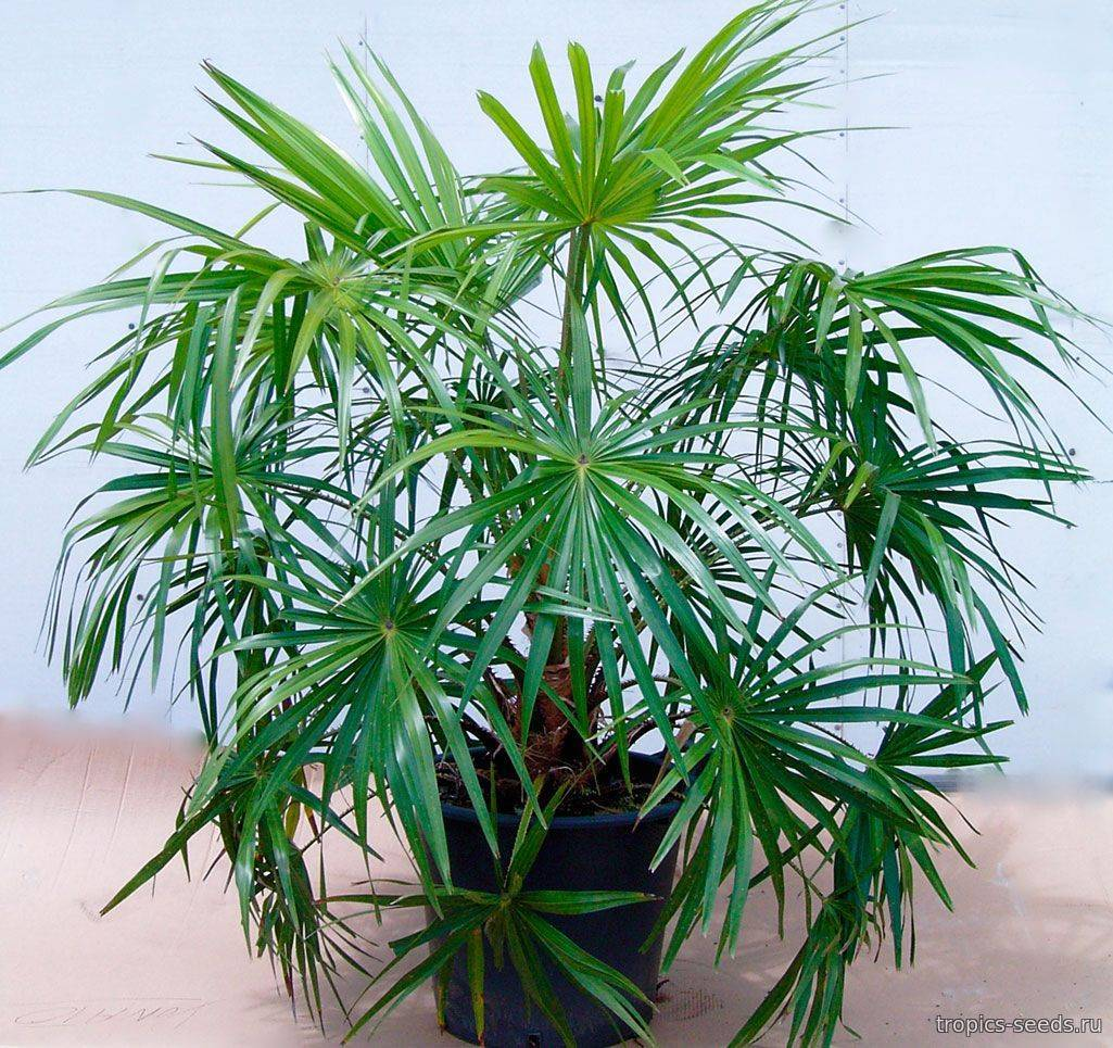 Пальма ливистона: популярные виды, выращивание из семян