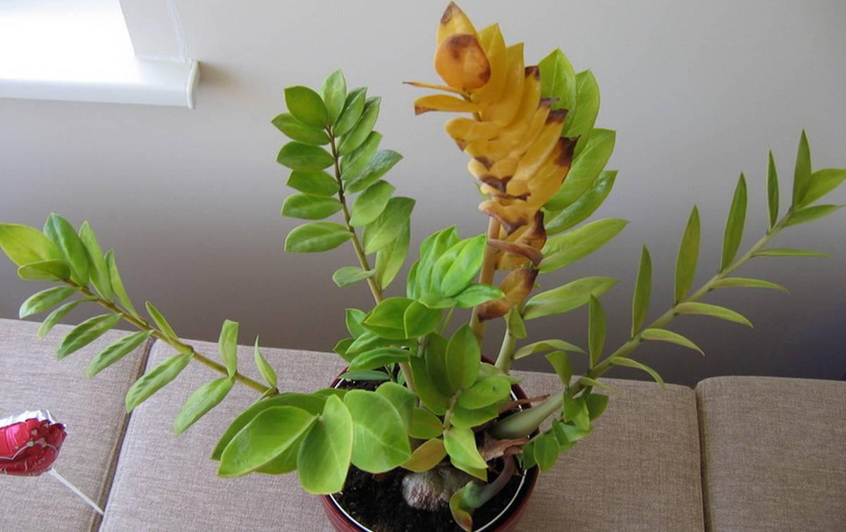 Почему желтеют листья у замиокулькаса в домашних условиях: причина и что делать