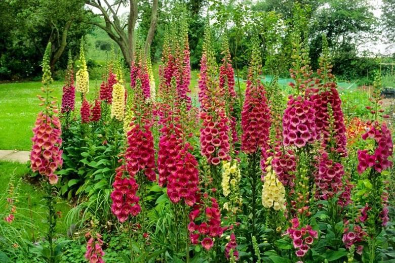 Цветок наперстянка: фото, посадка и уход