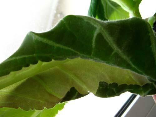 Листы глоксинии закручиваются внутрь: почему и что делать с растением