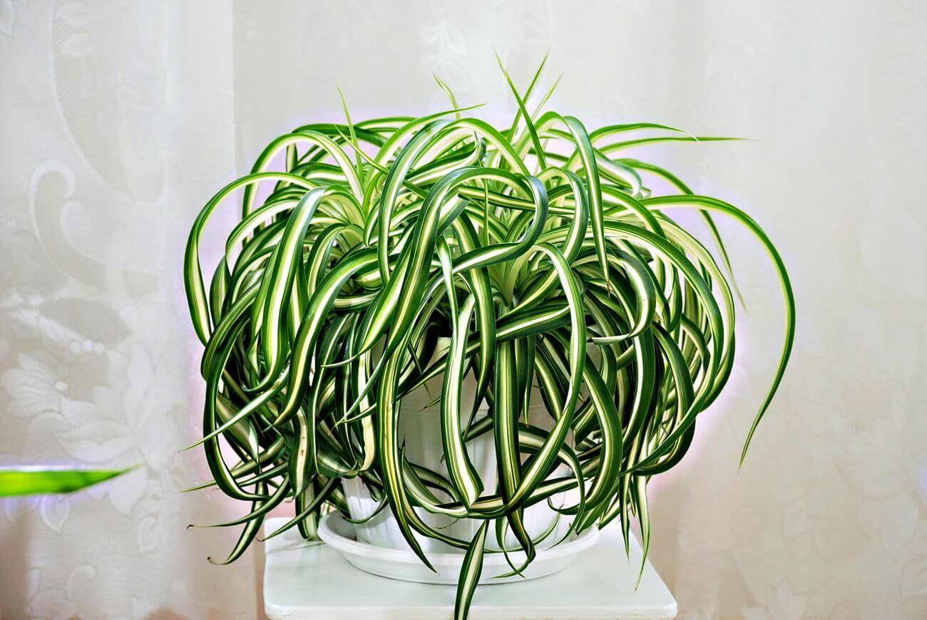 Выращивание хлорофитума оранжевого: как посадить, ухаживать, удобрять, размножать