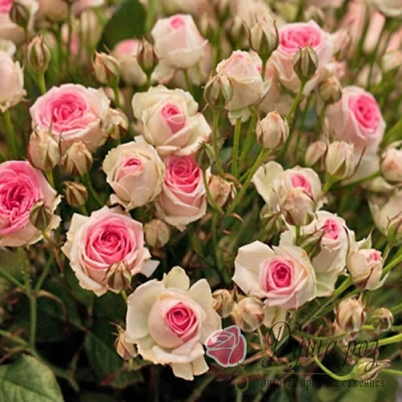 Роза кахала (kahala)