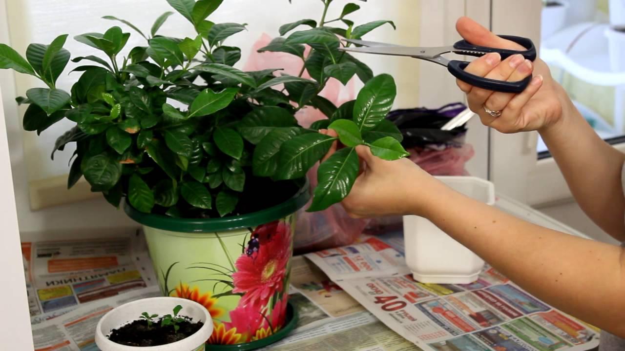Филодендрон: все нюансы ухода за цветком в домашних условиях + фото и видео