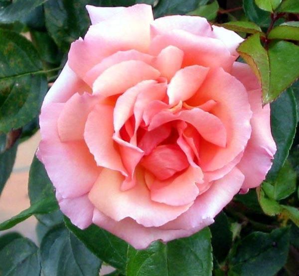 Роза черный принц (black prince) — описание сорта