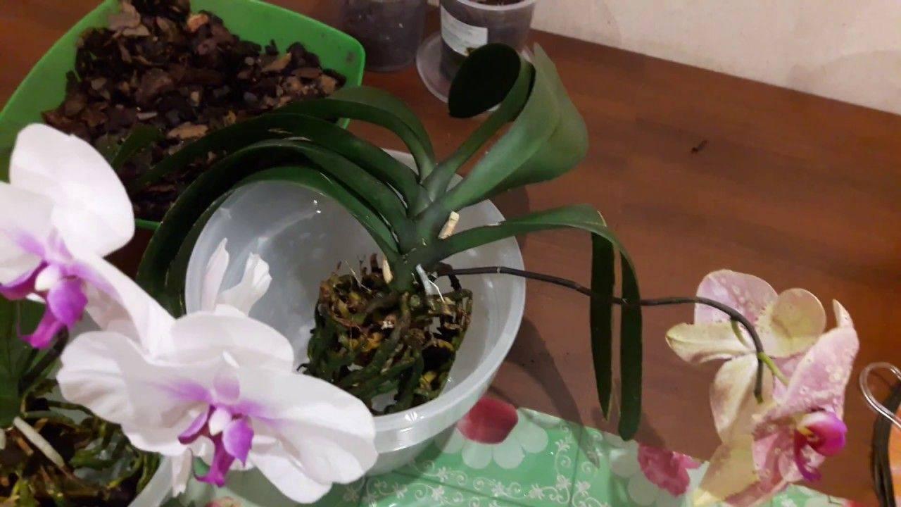Орхидея фаленопсис: уход в домашних условиях, цветение и пошаговая инструкция, как продлить этот период и избежать возможных проблем
