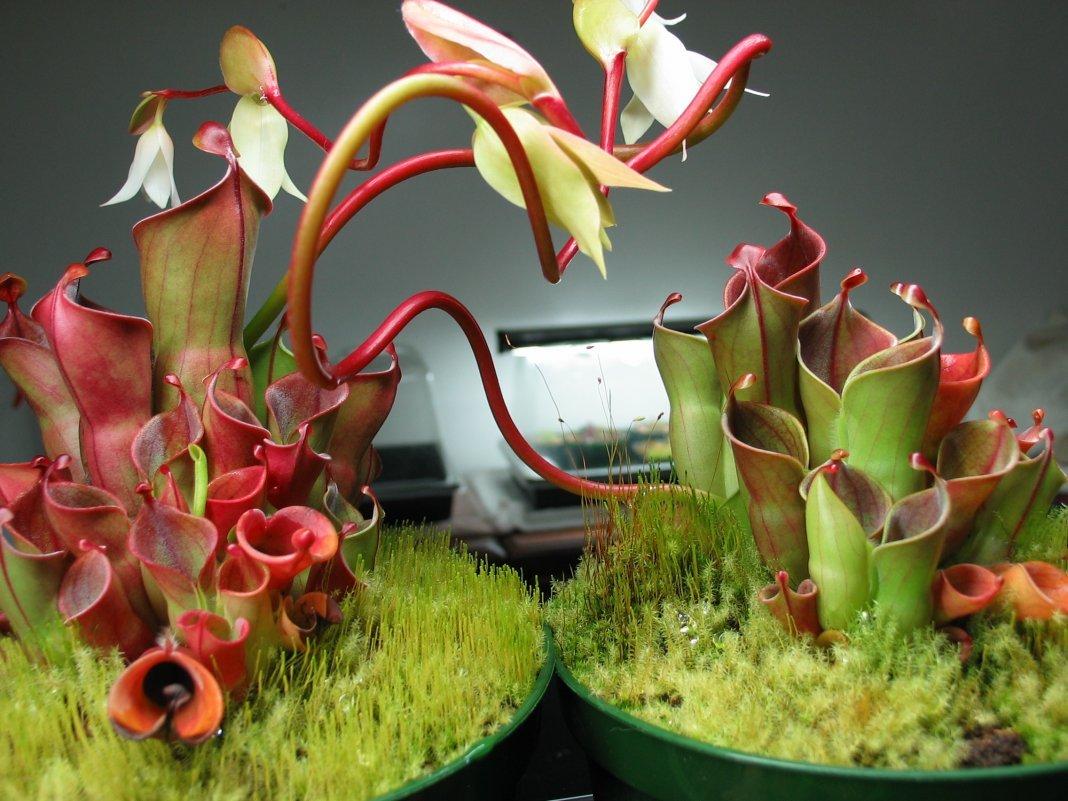 Хищные растения — насекомоядные цветки в домашних условиях - pocvetam.ru