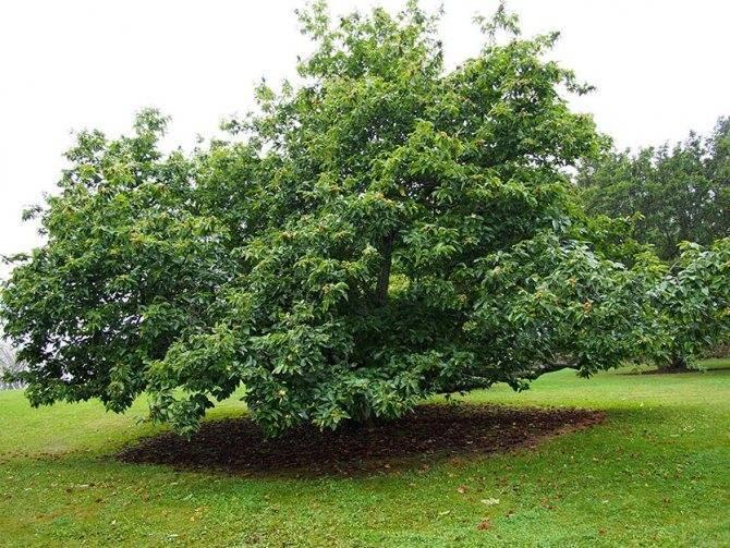 Дерево каштан – требования к посадке и уходу