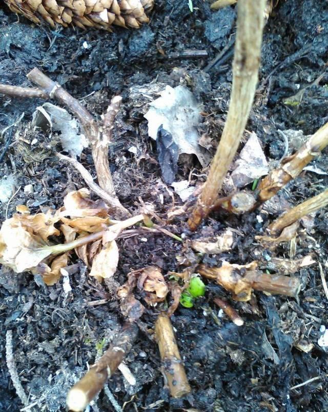 Причины отсутствия цветения у жасмина дома или в саду и способы их устранения