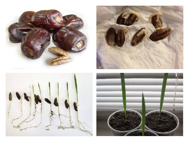 Выращиваем финиковую пальму из косточки в домашних условиях, уход для быстрого роста