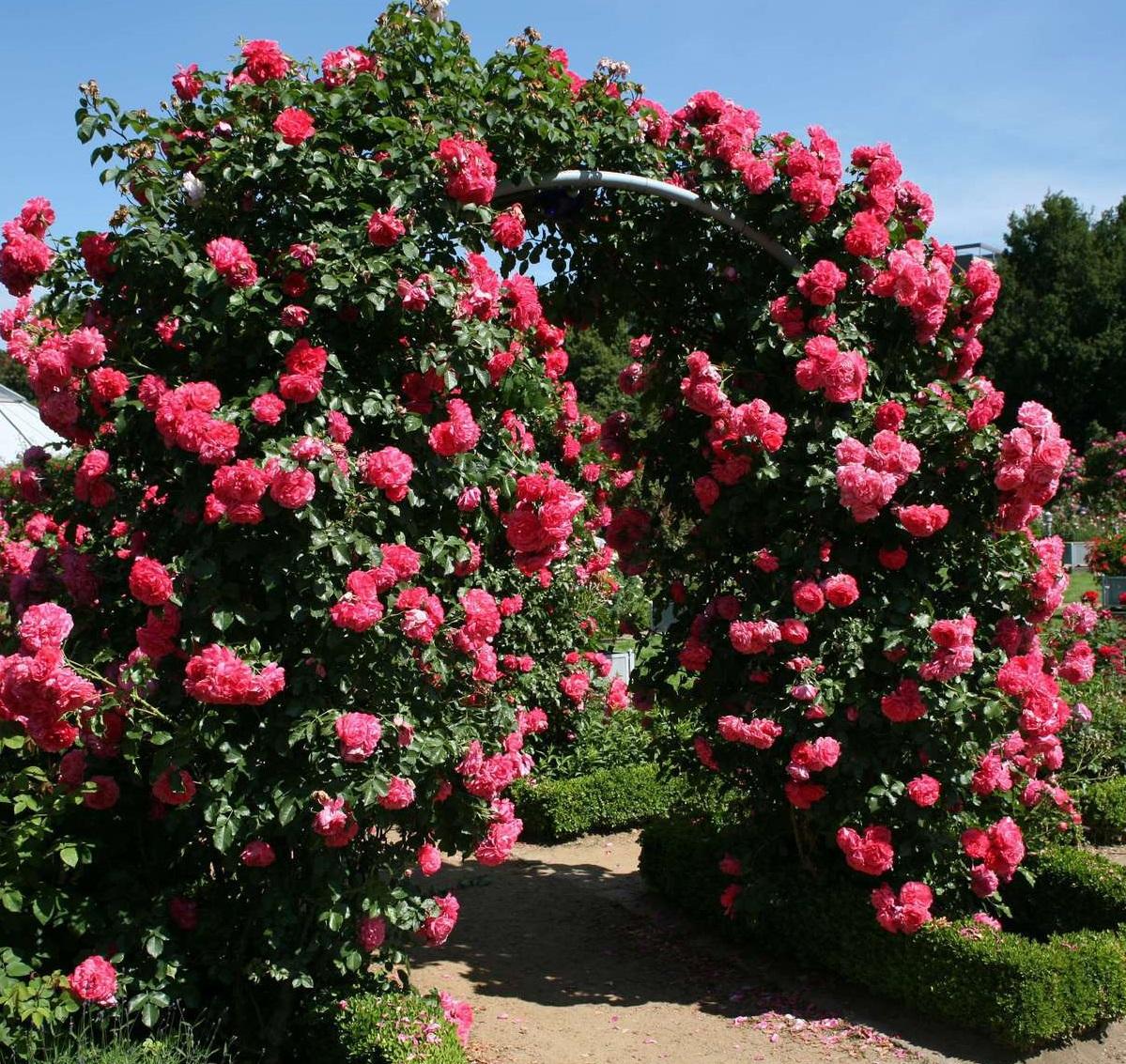 Роза «хендель» (26 фото): описание плетистого сорта и уход за ним