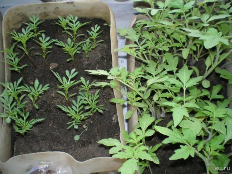 Все секреты о выращивании бархатцев из семян: когда и как сажать, правила ухода. когда пора высаживать в открытый грунт рассаду бархатцев