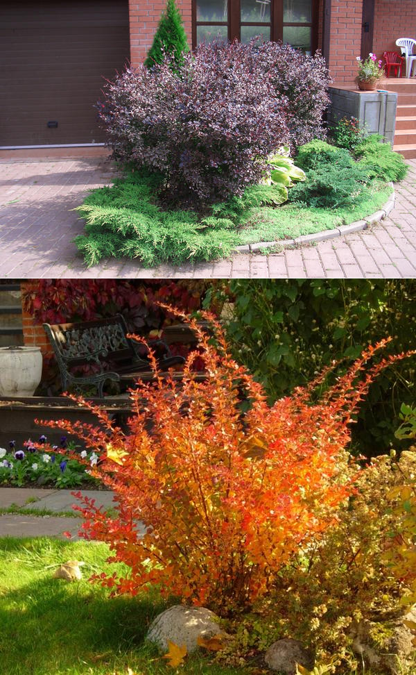 Разновидности и сорта барбариса (55 фото): описание амурского, видов желтого и декоративного, черного и красного кустарника
