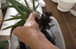 Как правильно посадить алоэ
