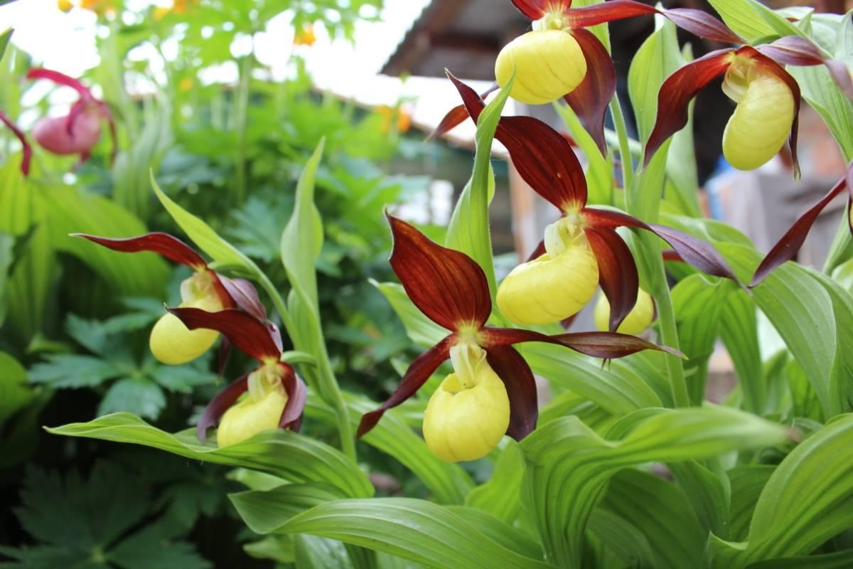 Орхидея пафиопедилум (венерин башмачок): уход и описание видов