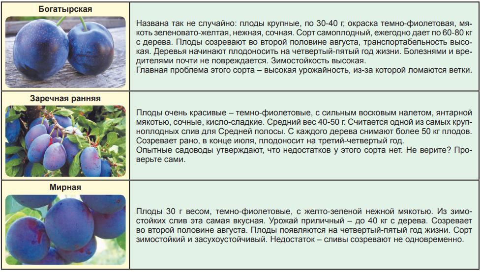Жимолость съедобная: фото, описание, характеристика и выращивание сорта фиалка