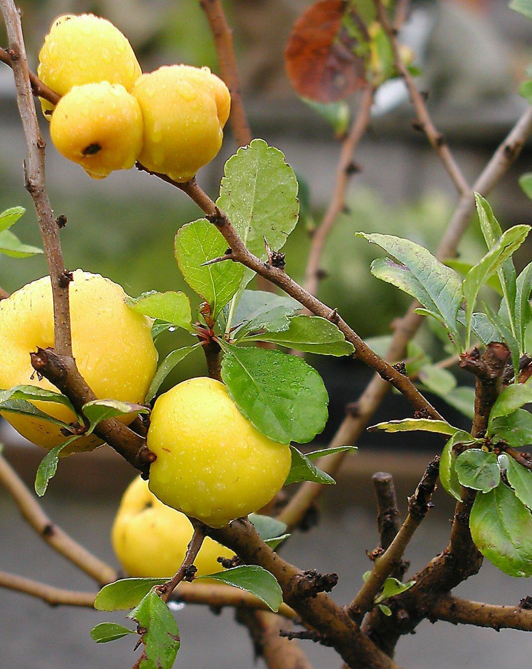Съедобна или нет айва японская и как использовать плоды
